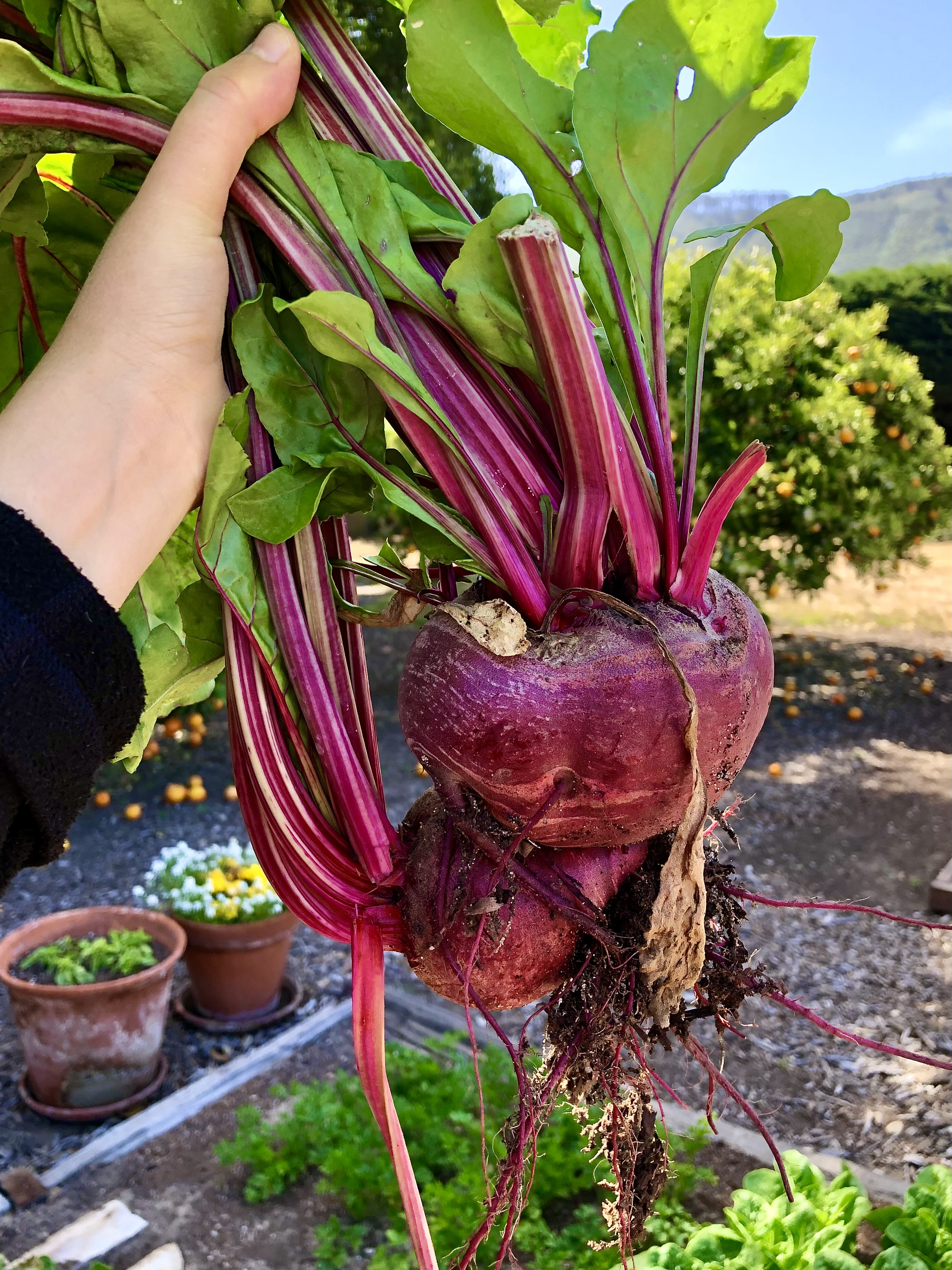 Homegrown Beets, a Personal Favorite