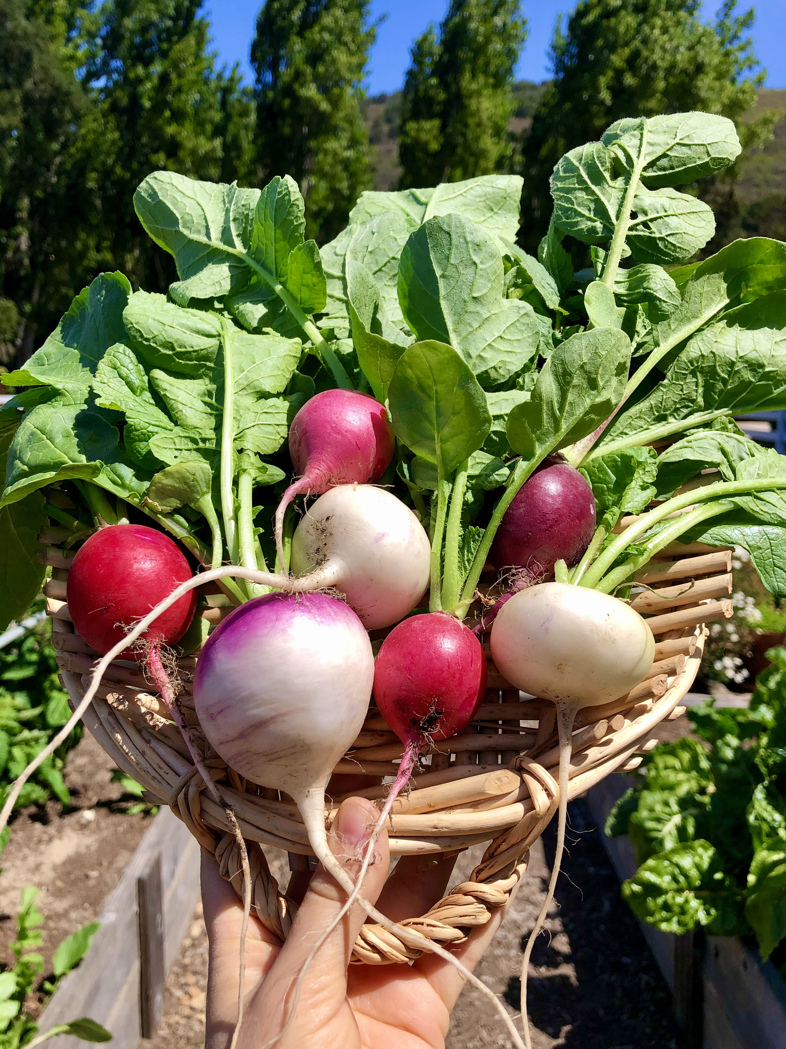 Gardening Like a Nutritionist: Featuring Radishes